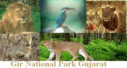 Gir_National_Park_Gujarat_Nri_Gujarati_India_Gujarat_News_Photos_2496.jpg