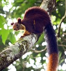 indian giant squirell