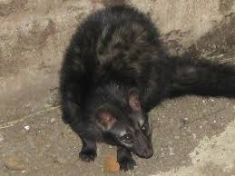 indian palm civet