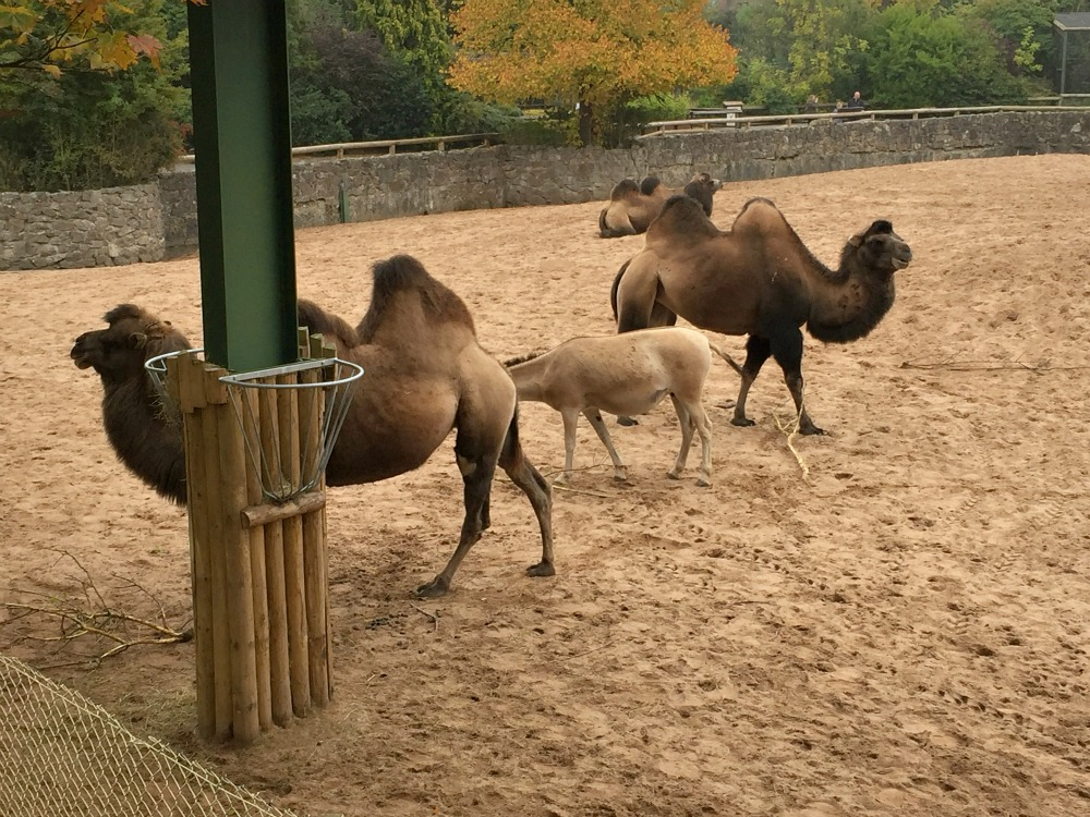 Camel at Chester Zoo Stock Photo, Royalty Free Image: 619325 - Alamy