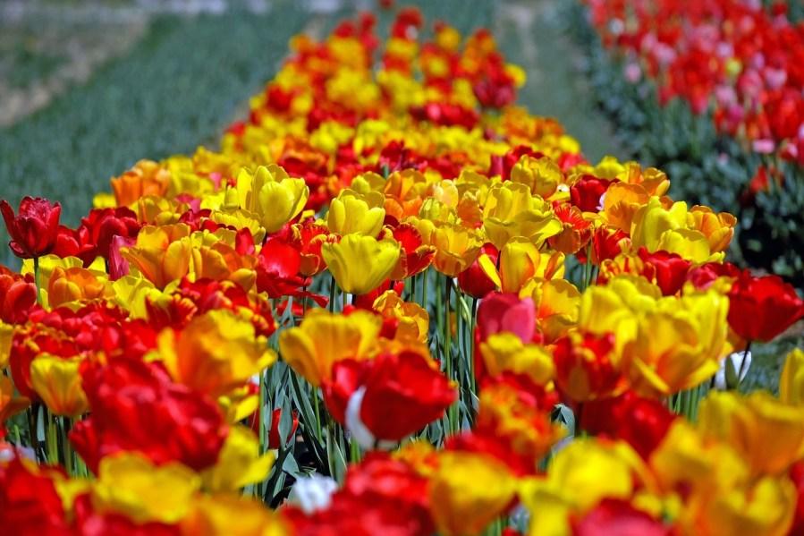 Pola tulipanów