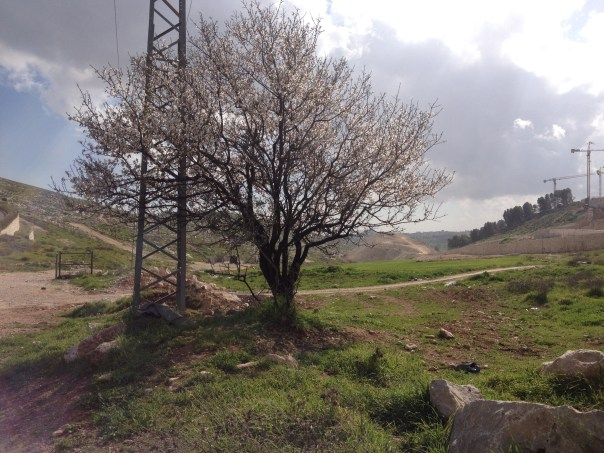 An almond tree in full bloom on the outskirts of Jerusalem, on the road home.