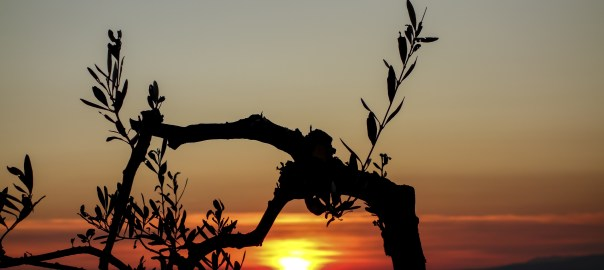 photo of olive tree silhouette