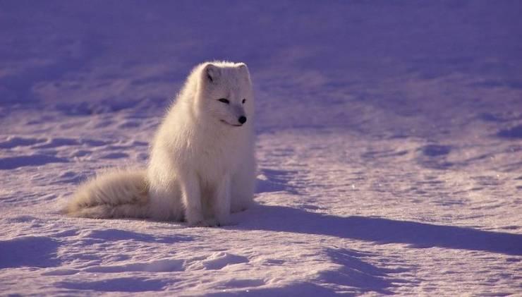 viaggi per vedere l'aurora boreale: il lupo artico
