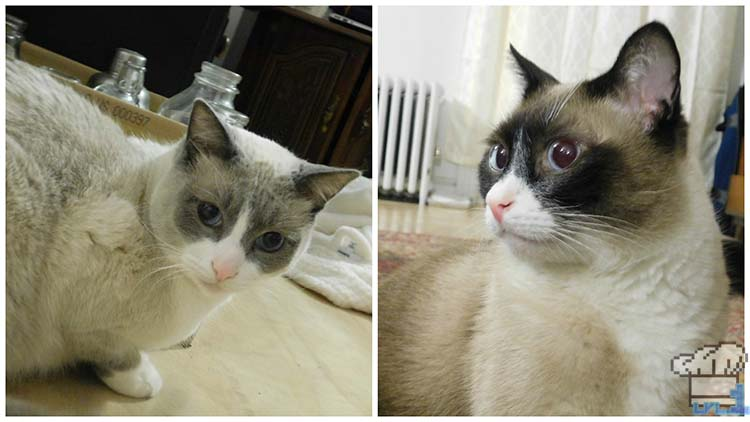 Two hungry siamese cats await the Bonito Bitz cat food recipe to be completed so they can eat it.