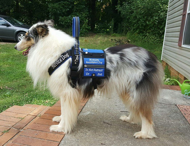 A rough collie service dog in a blue SD harness