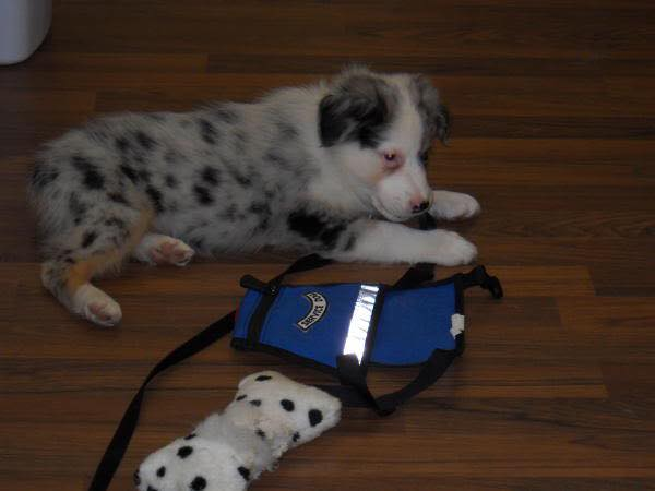 A service dog puppy and vest