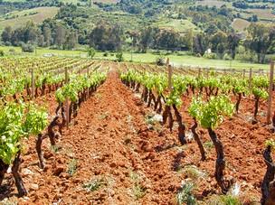 I Vini Tipici Sardi  I Vitigni e i Vini di Sardegna scopri i produttori di Vino dellIsola