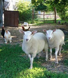 Moutons jardin du gîte