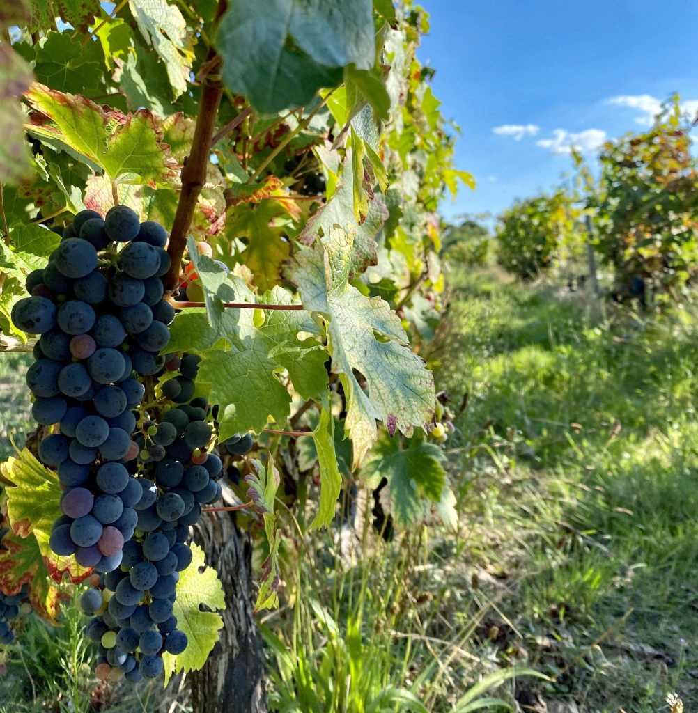 vigne bio sans produits chimiques
