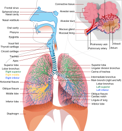 diagram of the lungs [ 1702 x 1920 Pixel ]