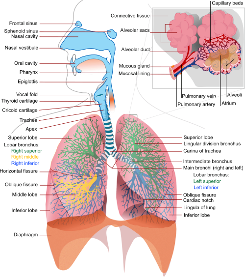 small resolution of diagram of the lungs