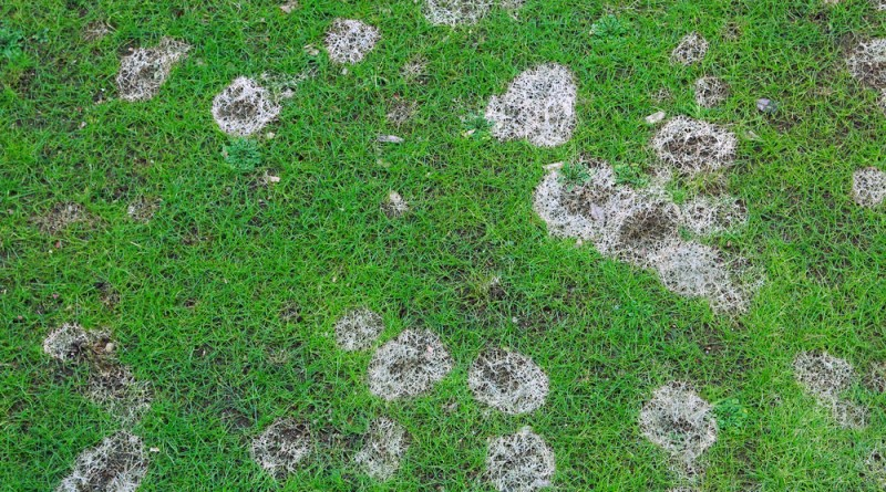 thatch buildup can kill your lawn