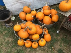 Pie Pumpkins at Willy Tee's