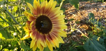Winlock Community Garden Sunflower