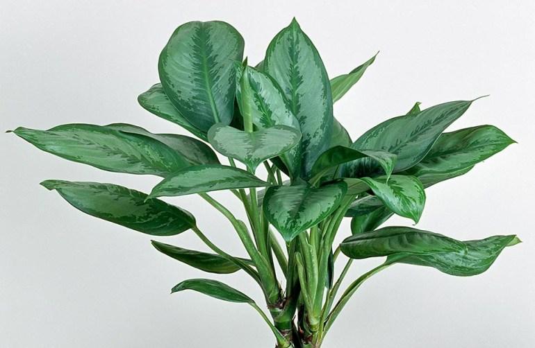 La aglaonema è una pianta da appartamento molto apprezzata per la bellezza delle sue foglie, di colore verde variegato di bianco, grigio argento, rosso o giallo.