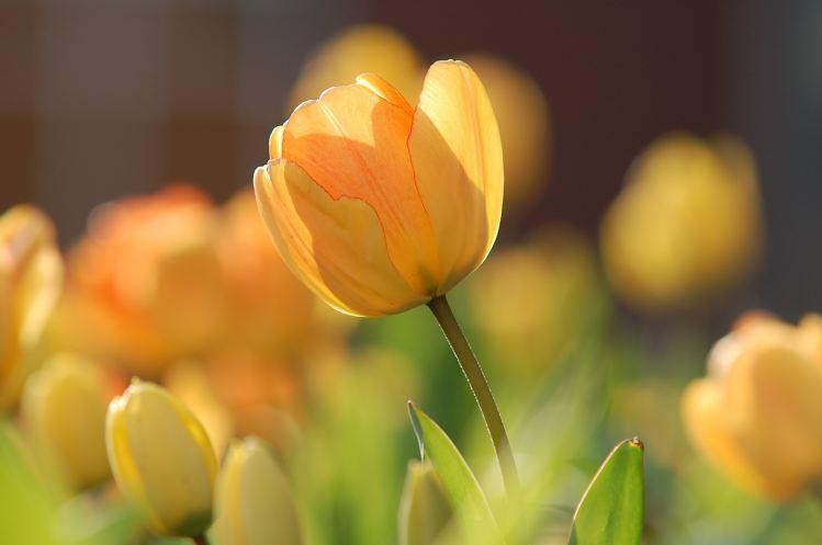 Gratitude, tulip photo