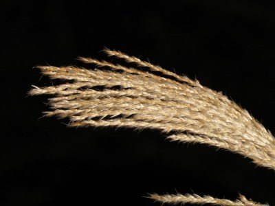 miscanthus sinensis feature reed grass