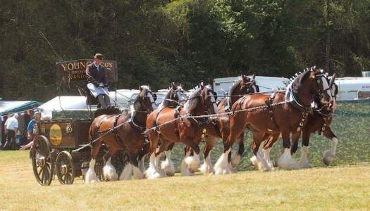 Waldburg Shires six shire horse team pulling the Youngs brewery dray