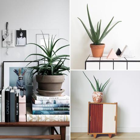IT Plants: L'ALOÉ VERA