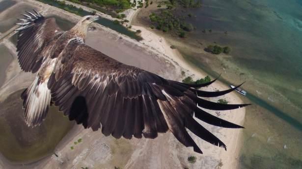 Vol avec un aigle - Crédit : Dronestagram