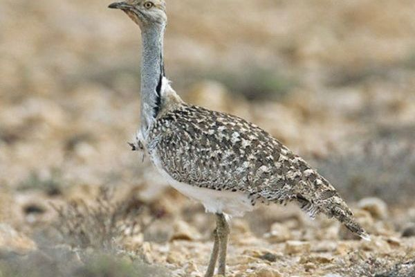 SC imposes ban on hunting of Houbara bustard