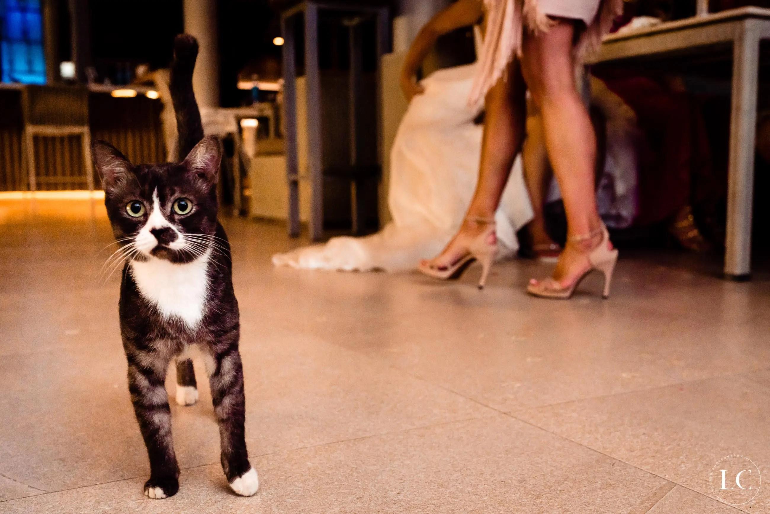 cat walking during a wedding