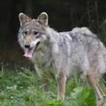 Here's A Subject Almost As Volatile As Gun Control: Wolves