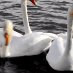 This One's For The Geese- Researchers Use Decoys In Study