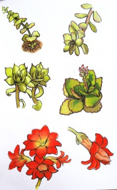 plantes-grasses-dessin-sketch-succulent