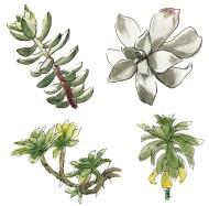 succulent-plant-dessin-aquarelle