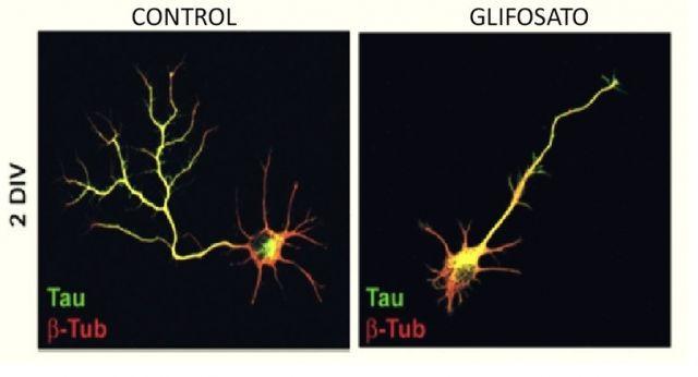 glifosato-celula