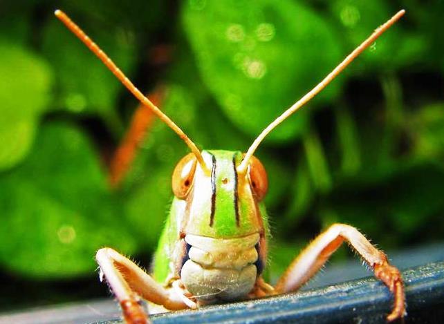 El 30,2% de las poblaciones de ortópteros están en declive en Europa (UICN)