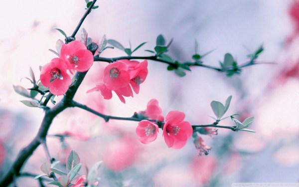 pink_blossom_flowers_spring-wallpaper-960x600
