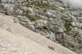 Steinböcke am Schotterhang