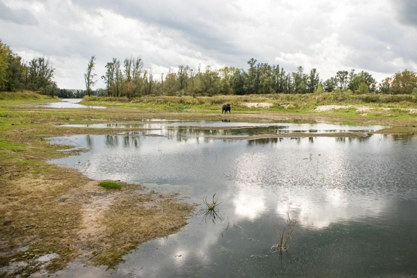 Ein junger Bulle steht an einer Wasserfläche in der Millingerwaard
