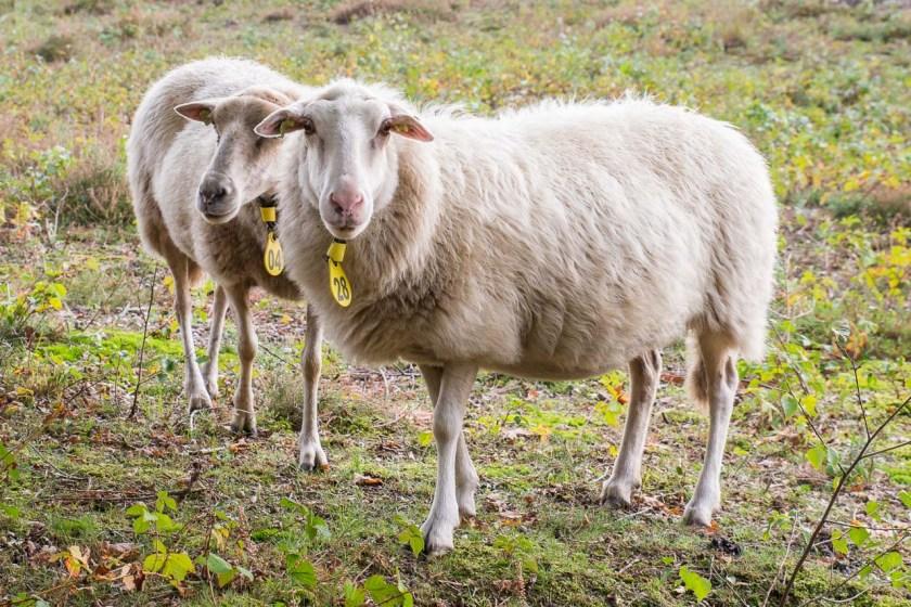 Auch Schafe laufen auf der riesigen Fläche im Nationalpark De Maasduinen