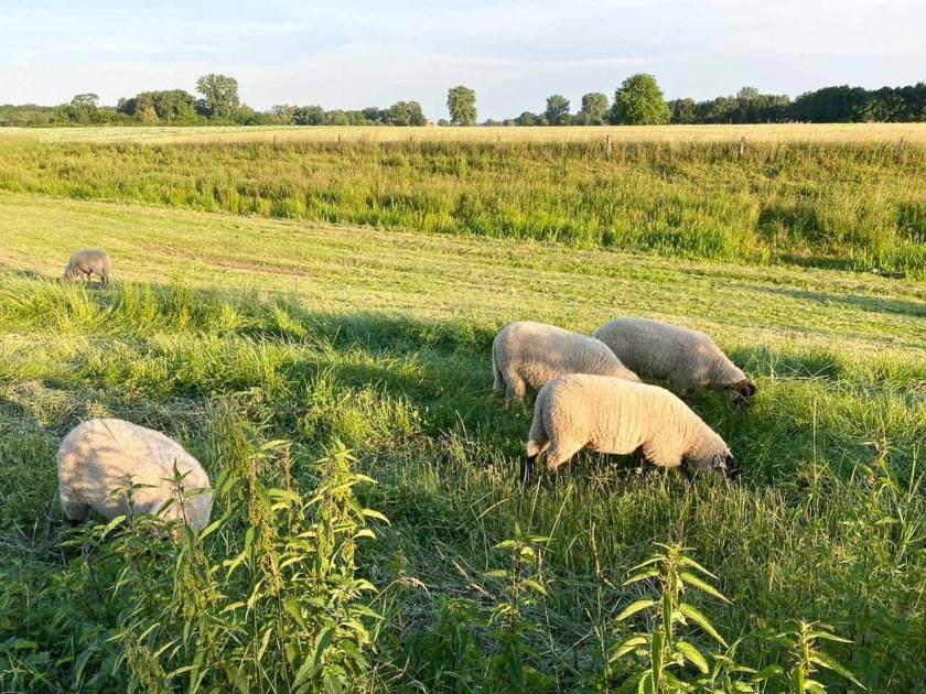 Schafe grasen auf einer Weide bei Gimbte