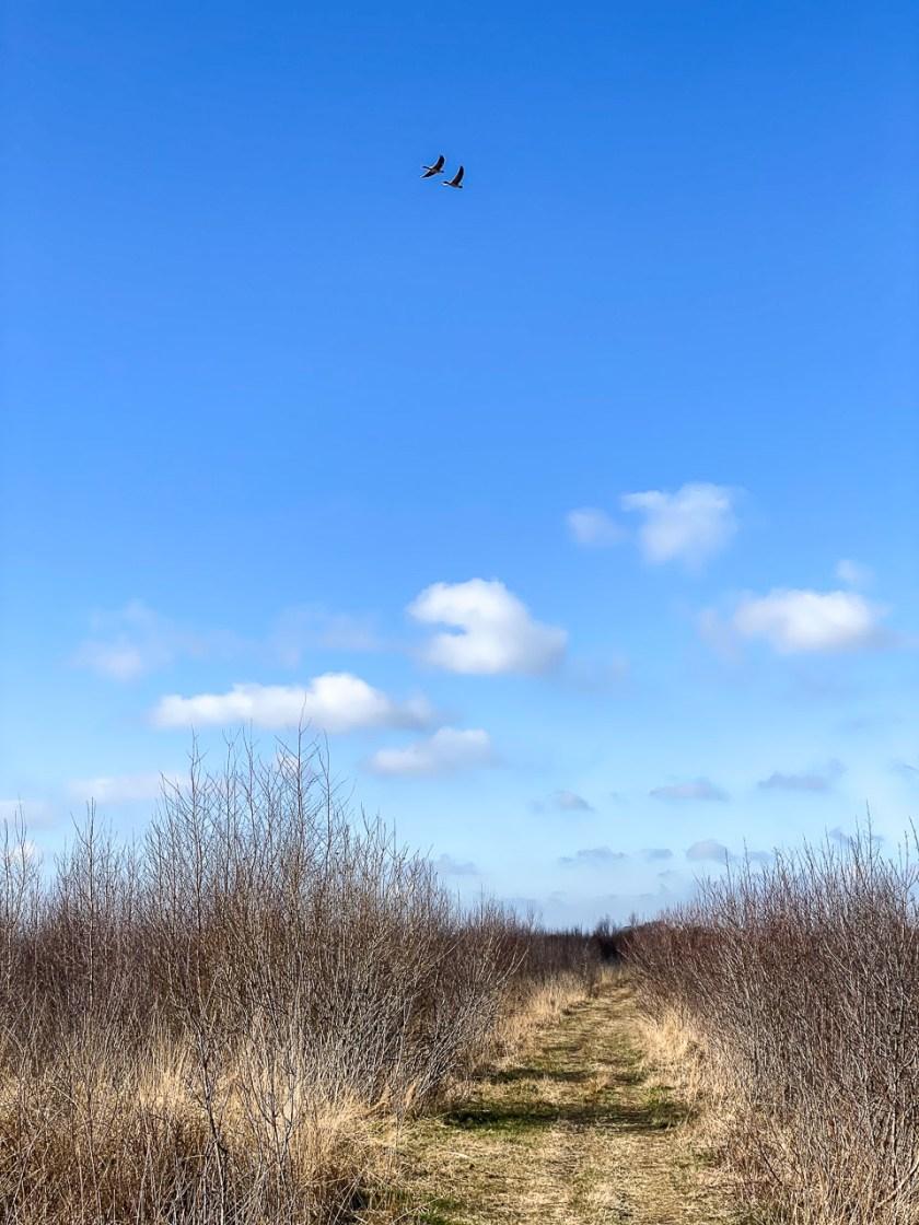 Zwei Graugänse fliegen über das Moor