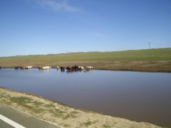 פרות במונגוליה הפנימית
