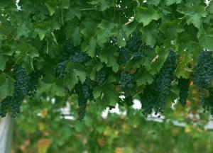 wine-grapes3 3