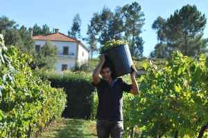El vino verde se suele hacer a escala doméstica