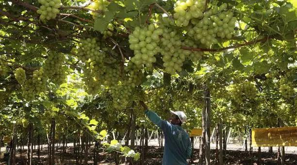 Cultivo de la uva: almacenes de azúcares convertidos en vinos