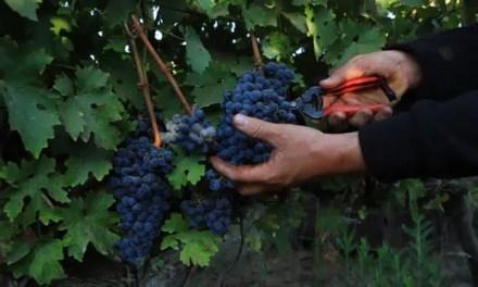 Vino de uvas editadas genéticamente: ¿remplazo para las variedades tradicionales menos resistentes?