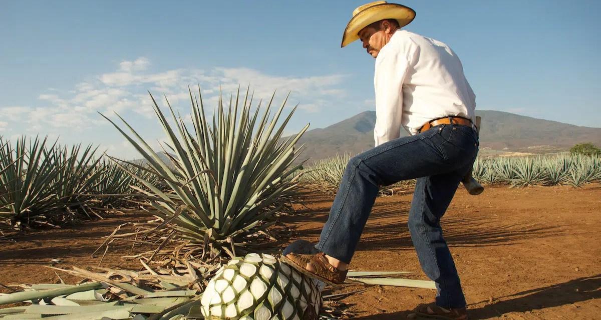 Mezcal y tequila: principales diferencias entre 2 destilados mexicanos