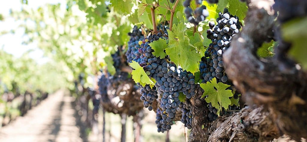 Vinos tintos jóvenes: sistema de vinificación, ¿maceración carbónica o despalillado?