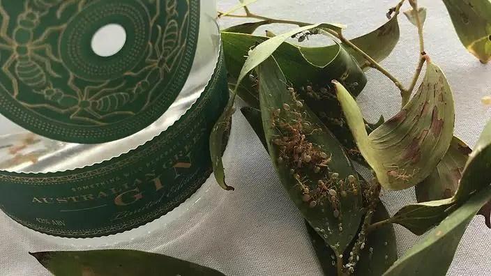 Green Ant Gin, la 1ª bebida a base de hormigas verdes con sabor a cítrico