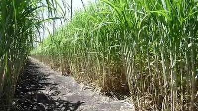 "Ron oscuro haitiano Ak Zanj: ""Cada sorbo agrega una dosis inesperada de complejidad vegetal"" 1"