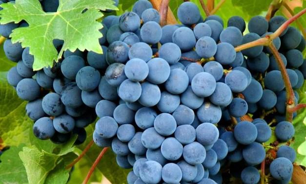 Bonarda, uva de gran potencial en Argentina