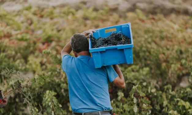 La vendimia sostenible de Ysios: «Cuidado hacia la uva, el entorno y las personas»